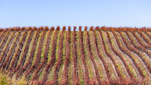 Fall Colored Vineyards Covering The Hills Of Santa Barbara County; Green Grass Starting To Grow In Between Rows; South California