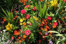 Rote Salvia Phyllis