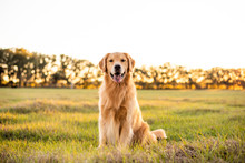 Golden Retriever Dog Enjoying Outdoors At A Large Grass Field At Sunset, Beautiful Golden Light