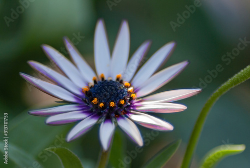 white and violet daisy Wallpaper Mural