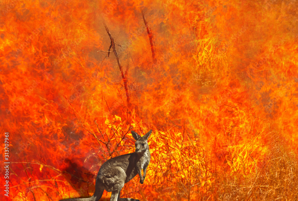 Fototapeta Composition about Australian wildlife in bushfires of Australia in 2020. Kangaroo with fire on background. January 2020 fire affecting Australia is considered the most devastating and deadly ever seen