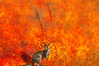 canvas print picture - Composition about Australian wildlife in bushfires of Australia in 2020. Kangaroo with fire on background. January 2020 fire affecting Australia is considered the most devastating and deadly ever seen