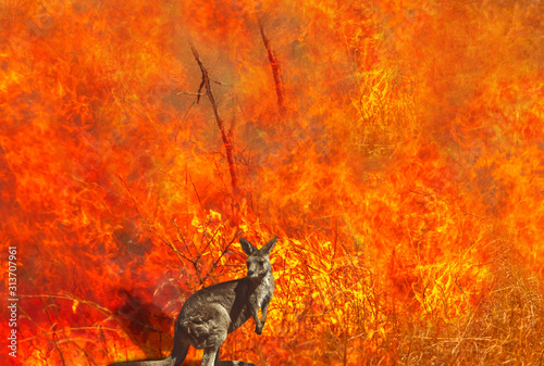 Composition about Australian wildlife in bushfires of Australia in 2020. Kangaroo with fire on background. January 2020 fire affecting Australia is considered the most devastating and deadly ever seen - 313707961