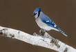 Blue Jay Perched on Birch Snag in Winter