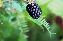 Ripe Wild Blackberry On The Vine At Dusk. Fruit In The Forest. Summer 2019.