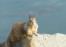 Ground Squirrel Laying On A Ro...