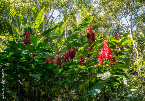 Alpinia purpurata flower, or red ginger, close view in tropical garden in Puerto Canvas Print