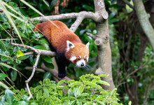Red Panda Climbing Tree; Red P...