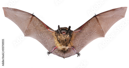 Photographie Animal little brown bat flying. Isolated on white.