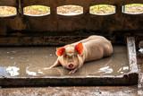 Fototapeta Kawa jest smaczna - Young pig in hog farms, Pig industry