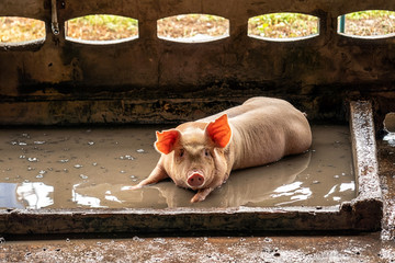 Young pig in hog farms, Pig industry