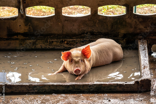 Fototapeta Young pig in hog farms, Pig industry obraz