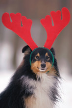 The Portrait Of A Funny Tricolor Sheltie Dog Posing With Deer Horns Headband On Its Head In Winter