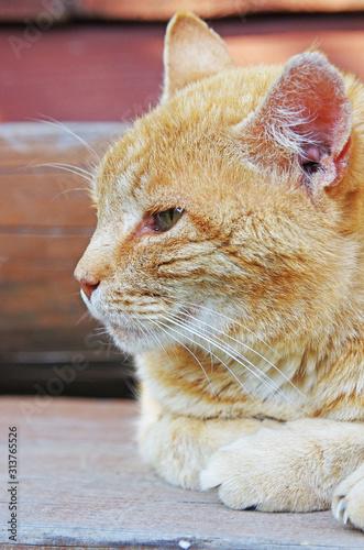 Fototapeta Twarz kota rudego obraz