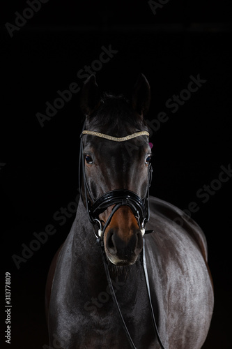 Fototapety, obrazy: Horse whole blood Mecklenburg photographed against a black background with flash low key in portraits of the head.