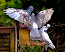 Feral Pigeons Fighting Over Nuts In A Squirrel Nut Box In An Urban House Garden.