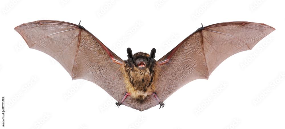 Fototapeta Animal little brown bat flying. Isolated on white.
