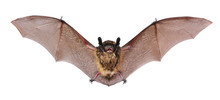 Animal Little Brown Bat Flying...