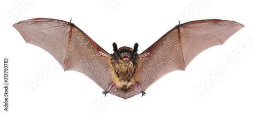 Animal little brown bat flying. Isolated on white. Fototapet