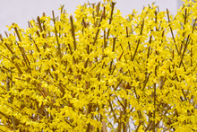 Springtime Flowers: A Fresh Cut Bright Yellow Forsythia Blooming In A Garden In Bavaria, Germany