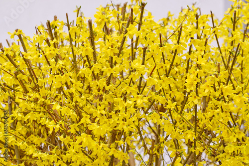 Fotografie, Obraz Springtime flowers: A fresh cut bright yellow forsythia blooming in a garden in