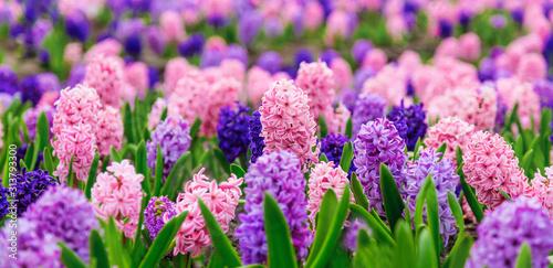Obraz na plátně Large flower bed with multi-colored hyacinths, traditional easter flowers, flower background, easter spring background