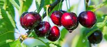 Macro Shot On Red Cherries In ...