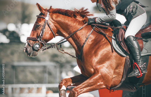 Fototapeta A sorrel horse in sports equipment with a girl rider in the saddle jumps the barrier at a show jumping competition. obraz