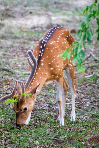 Fotografía Deer in Nala National Park (Sri Lanka)