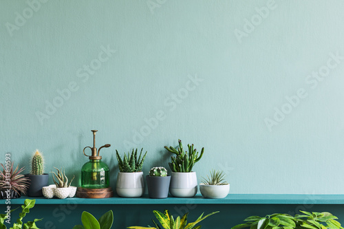 Fototapeta Stylish living room interior with compositon of beautiful cacti and succulents in differents design pots on the green shelf. Green wall. Modern and floral concept of home garden jungle. Template.  obraz