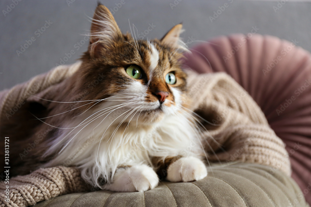Fototapeta Portrait of cute siberian cat with green eyes lying on grey textile sofa at home. Soft fluffy purebred long hair straight-eared kitty. Background, copy space, close up.