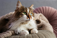 Portrait Of Cute Siberian Cat With Green Eyes Lying On Grey Textile Sofa At Home. Soft Fluffy Purebred Long Hair Straight-eared Kitty. Background, Copy Space, Close Up.