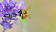Close On A Honey On A Pink  Flower Of Lavender
