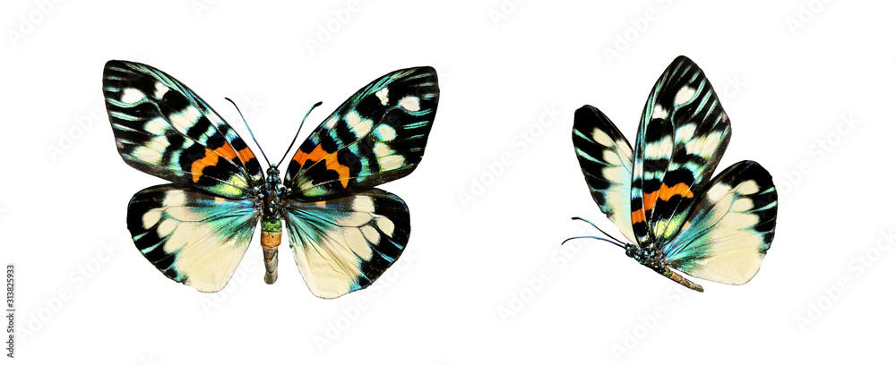 Fototapeta Set two beautiful colorful bright  multicolored tropical butterflies with wings spread and in flight isolated on white background, close-up macro.