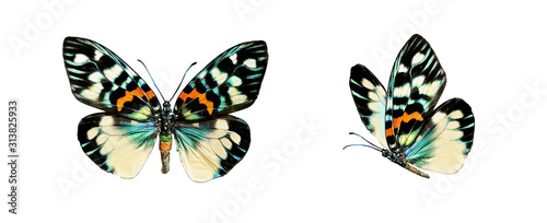 Set two beautiful colorful bright multicolored tropical butterflies with wings spread and in flight isolated on white background, close-up macro.