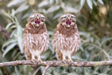 Two Young Little Owl Chicks Yawn On A Branch. Funny Collage.