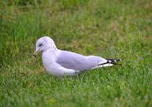 Möwe Läuft Im Grünen Gras / Seagull Walking In The Green Grass