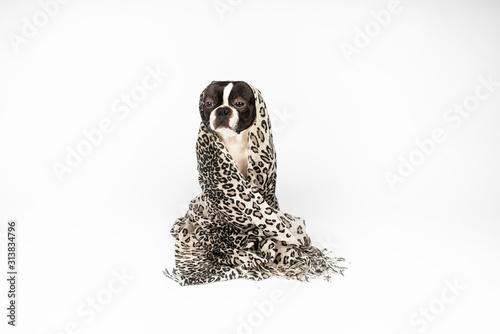 Fototapeta  Dog (boston terrier) like yoda