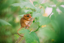Little Hazel Dormouse Climb The Twigs In Nature. Muscardinus Avellanarius. Endangered Animal.