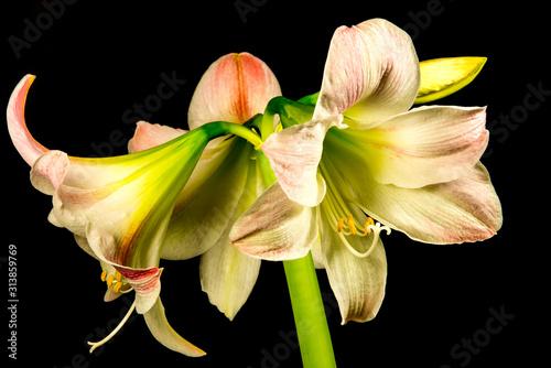 Photo Amaryllis, flower in a closeup