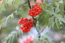 Red Ashberry With Green Leaves Closeup. Bright Red Berries.