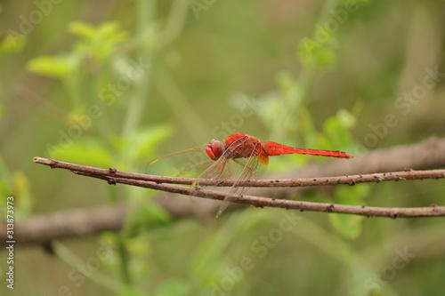 Fototapeta scarlet darter  red dragonfly sitting on stick