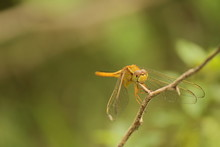 Yellow Dragonfly On Stick