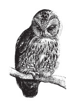 Tawny Owl (Syrnium Aluco) / Vintage Illustration From Brockhaus Konversations Lexikon 1908