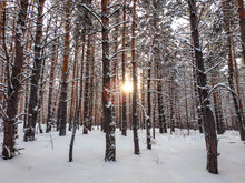 Winter Pine Forest At Sunset T...