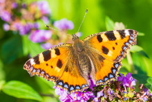 Aglais Urticae Small Tortoiseshell Butterfly Top View Isolated By Nature