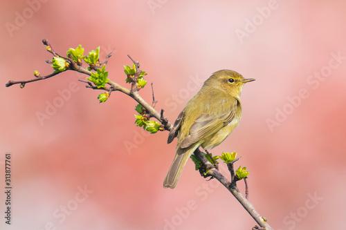 Fotografía Willow warbler bird, Phylloscopus trochilus, singing