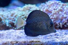 Juvenile Gem Tang (Zebrasoma Gemmatum) Beautiful Marine Fish From Mauritius