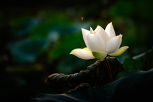 White Lotus Flower And Flying Bee On A Dark Background