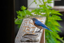 Male Bluebird Perched On A Dec...